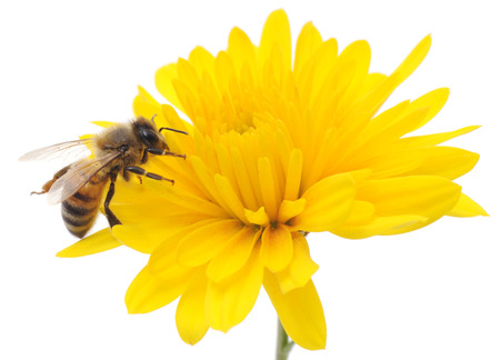 Honeybee and yellow flower head isolated on a white