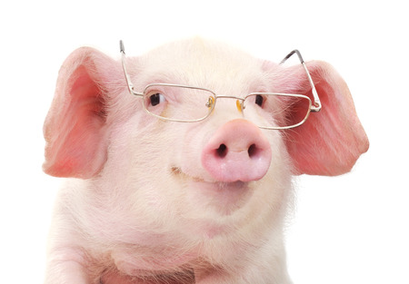 pig nose: Portrait of a cute pig in glasses on white background