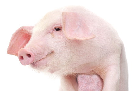 Portrait of a cute pig, on white background