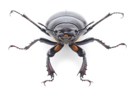 oryctes: Female of rhinoceros beetle   Oryctes Nasicornis  isolated on white  Stock Photo