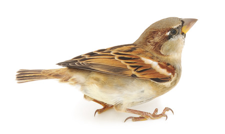 House Sparrow isolated on a white background