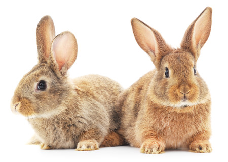 Isolated image of a two bunny rabbits.