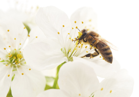 Honeybee and white cherry flowers.