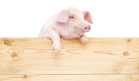 Pig with board isolated on white background.