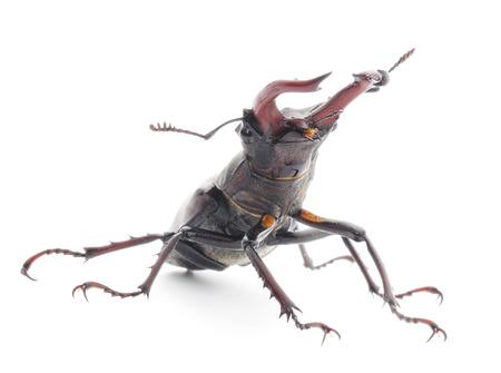 oryctes: The male and female of rhinoceros beetle  (Oryctes Nasicornis) isolated on white.