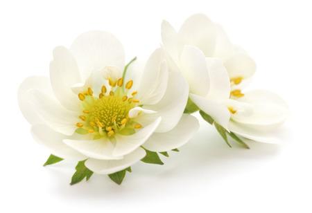 Twee witte bloemen op een witte
