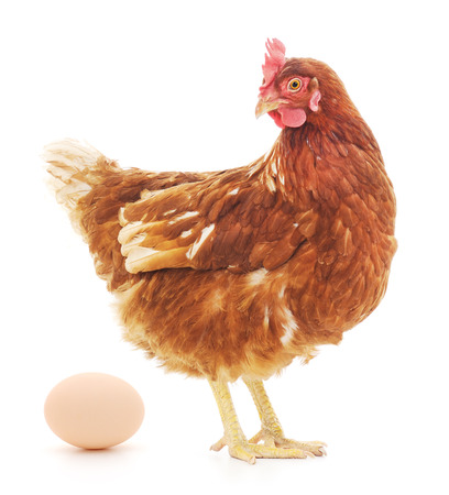 Isolated brown hen with egg in the studio Stock fotó