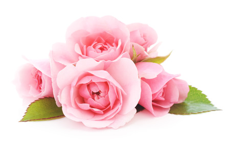 beautiful pink roses on a white background  Stock Photo