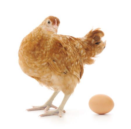 pullet: Isolated brown hen with egg in the studio Stock Photo