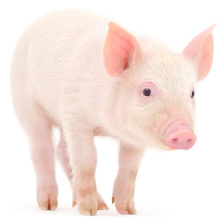 白い背景に表されている豚