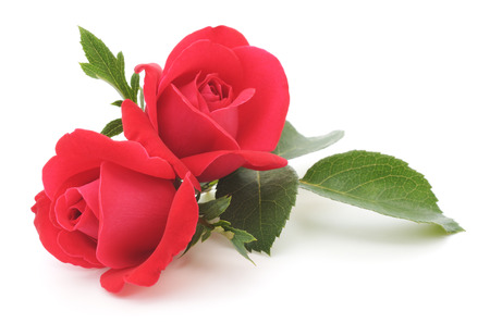 Two beautiful red roses on a white background