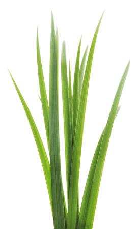 흰색 배경에 녹색 잔디의 긴 블레이드.