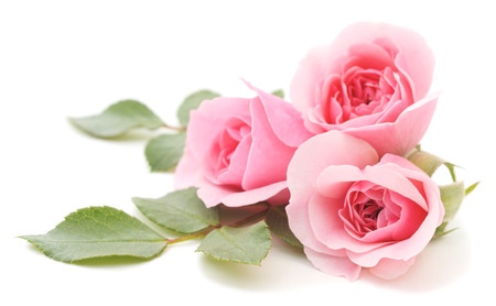 Three beautiful pink roses on a white background photo