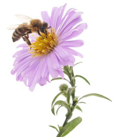 Honeybee and blue flower head isolated on a white background Foto de archivo