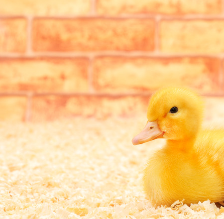 yellow duckling: One little yellow duckling on a farm.