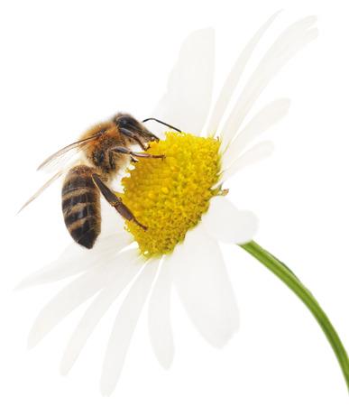 Honigbiene und weiße Blüte, die isoliert auf weißem Hintergrund Standard-Bild - 35361510
