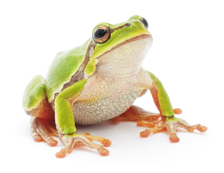 Small tree frog isolated on white background. 免版税图像