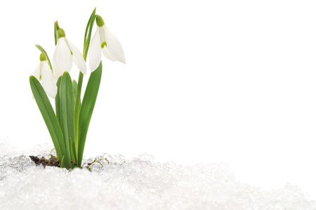 snow flowers: Snowdrop flower coming out from real snow Stock Photo