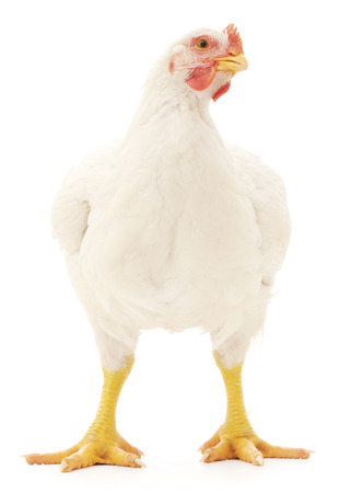 white hen isolated on white, studio shot