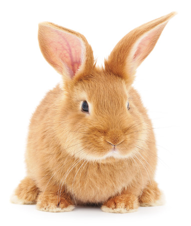 beauty animals: Isolated image of a brown bunny rabbit.