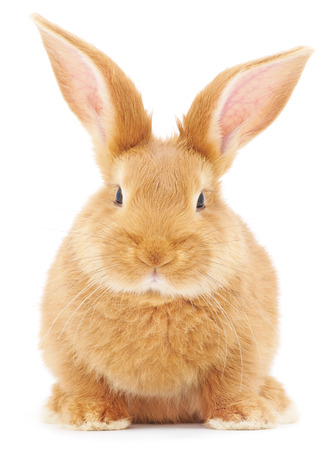 image: Isolated image of a brown bunny rabbit.