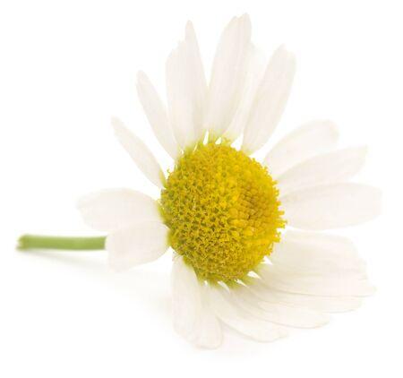 chamomile flower: One Chamomile flower isolated on white background