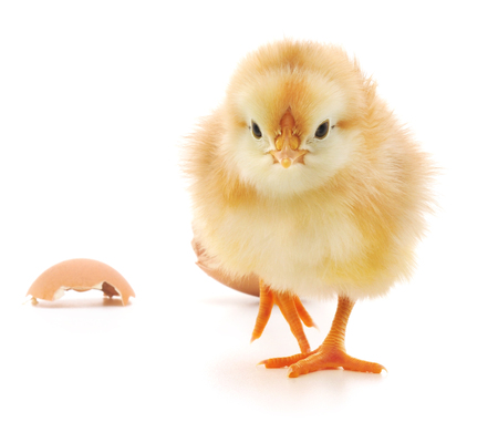 poultry animals: Chicken and an egg shell on white background Stock Photo