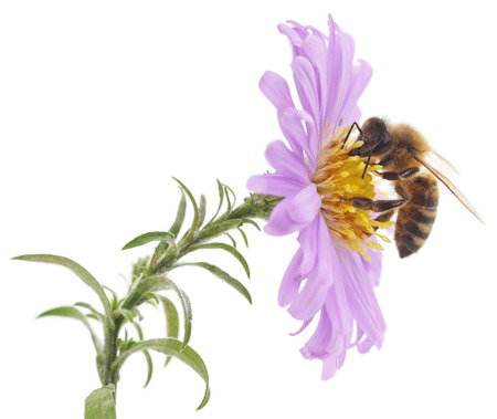 bee on white flower: Honeybee and blue flower head isolated on a white background Stock Photo