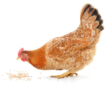 A vibrant red hen is pecking away at grain on the white ground photo