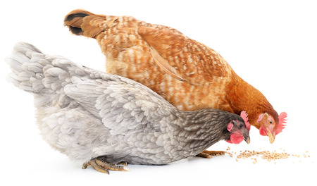 A vibrant red and brown hens are pecking away at grains on the white ground