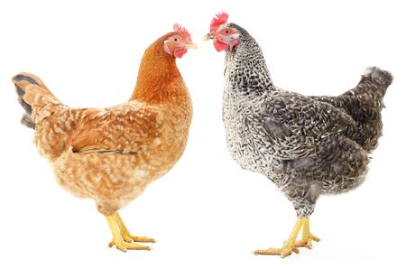 hen: Two hens isolated on white, studio shot