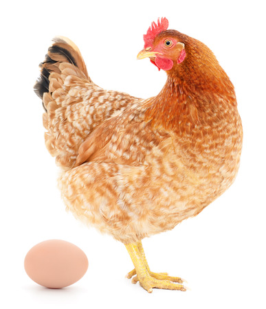Brown hen with egg isolated on white, studio shot.