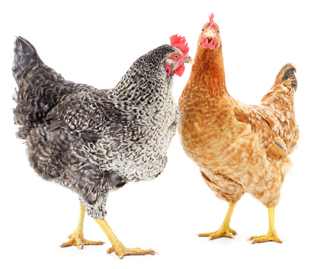 poultry: Two hens isolated on white, studio shot