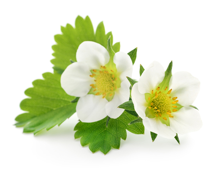 green leaf: Two strawberry flowers isolated on white background Stock Photo
