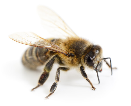 Closeup shot of a bee isolated on white background