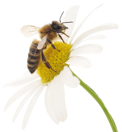 bee on white flower: Honeybee and white flower head isolated on a white background