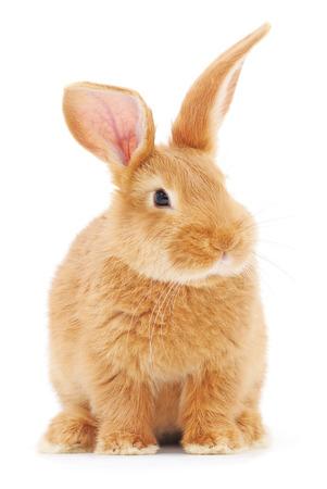 conejo: Imagen aislado de un conejito conejo marrón.