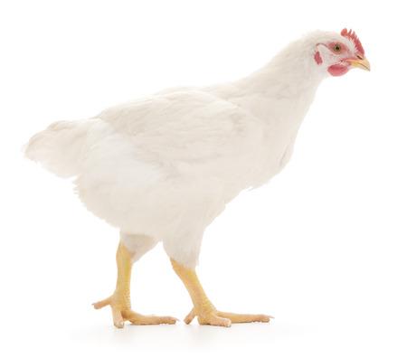 aves de corral: gallina blanca aislada en blanco, disparo de estudio