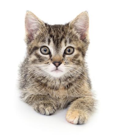 kitten small white: Small gray kitten on a white background
