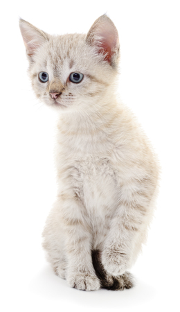 grey cat: Small gray kitten on a white background