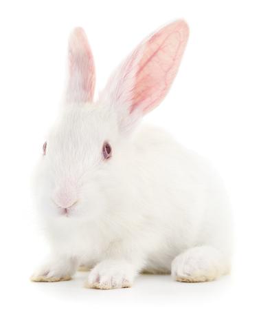 Aislado imagen de un conejo de conejo blanco.