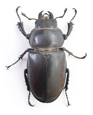 capreolus: Female Reddish-brown Stag Beetle (Lucanus capreolus) isolated on white background Stock Photo