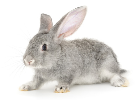 isolated on gray: Isolated image of a grey bunny rabbit.