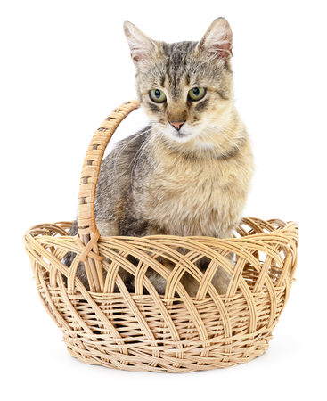 grey cat: One grey cat sitting in a basket.