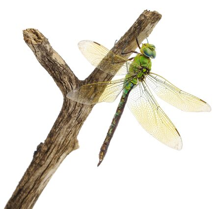 fragility: closeup of big green dragonfly over white