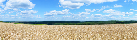 multiple images: Wheat field on a background of blue sky. Panorama from multiple images.