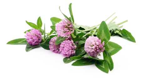 red clover: red clover (trifolium pratense) isolated on white