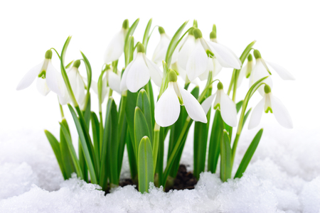 Snowdrop flower coming out from real snow Stock Photo