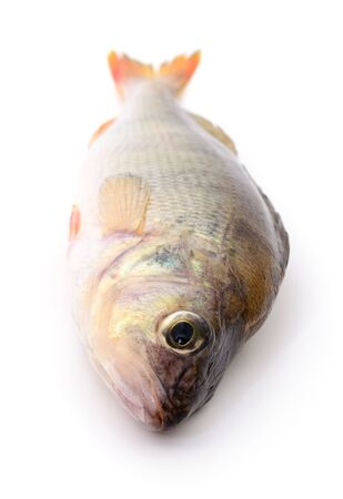 One striped perch isolated on white background.