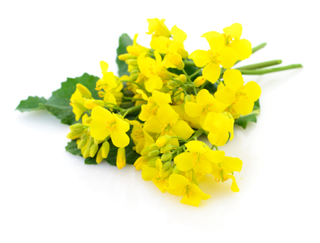 Mustard Flower blossom, Canola or Oilseed Rapeseed, close up , isolated on white background. Фото со стока